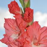Gladiolus at Farmhouse Kitchen & Gardens.