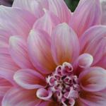 Dahlias are grown in the Farmhouse Gardens!